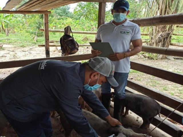 Supervisión a la vacunación contra Peste Porcina Clásica en Arauca - Noticias de Colombia