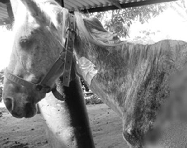 Tras 23 días de tratamiento, murió 'Guerrero', el caballo que fue abusado - Noticias de Colombia