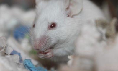 Un ratón aprende mil veces más rápido de lo que se pensaba
