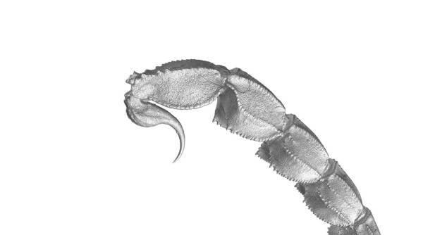 cola de escorpión