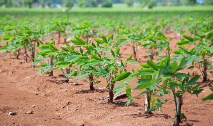 La siembra de yuca es una alternativa importante para los agricultores de Carraipía que aspiran hacer una cosecha importante teniendo en cuenta de las lluvias que por estos días caen desde los cielos guajiros.