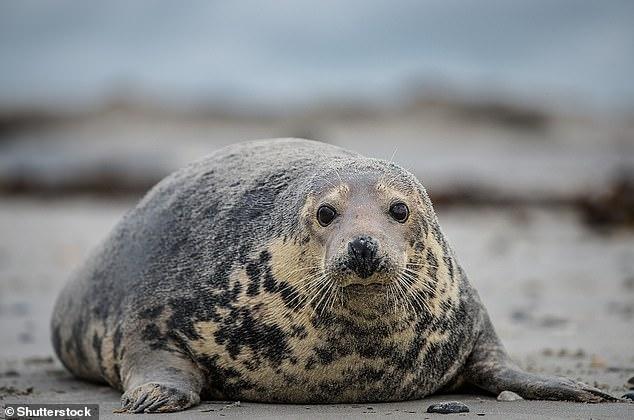 Foca gris (Halichoerus grypus).  Las focas grises tienen vientres pálidos más obviamente contrastantes y espaldas grises más oscuras, con manchas y manchas más grandes de forma más irregular