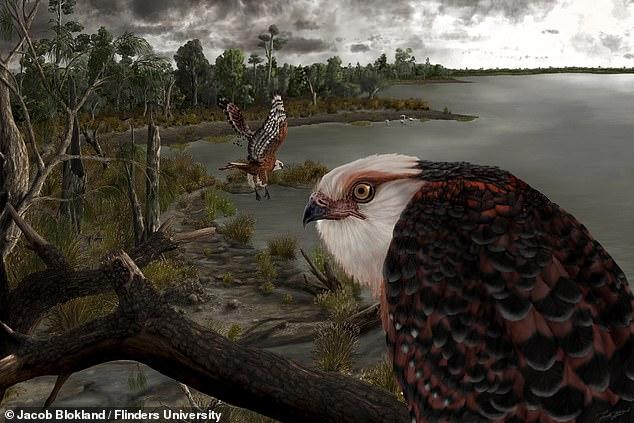 Un águila (representada arriba) con una envergadura de seis pulgadas que tendió una emboscada a presas desprevenidas como flamencos y koalas gobernó la cadena alimentaria de Australia del Sur hace 25 millones de años.