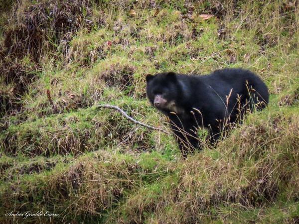 osos de anteojos Buesaco