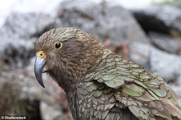 El kea (Nestor notabilis), un loro grande que se encuentra en las regiones alpinas de Nueva Zelanda, es un ejemplo de una nueva especie única que ha evolucionado en las cadenas montañosas.  Los keas son conocidos por sus cuerpos verde oliva y plumas anaranjadas debajo de sus alas.  También tienen un pico gris largo, estrecho y curvo gris.
