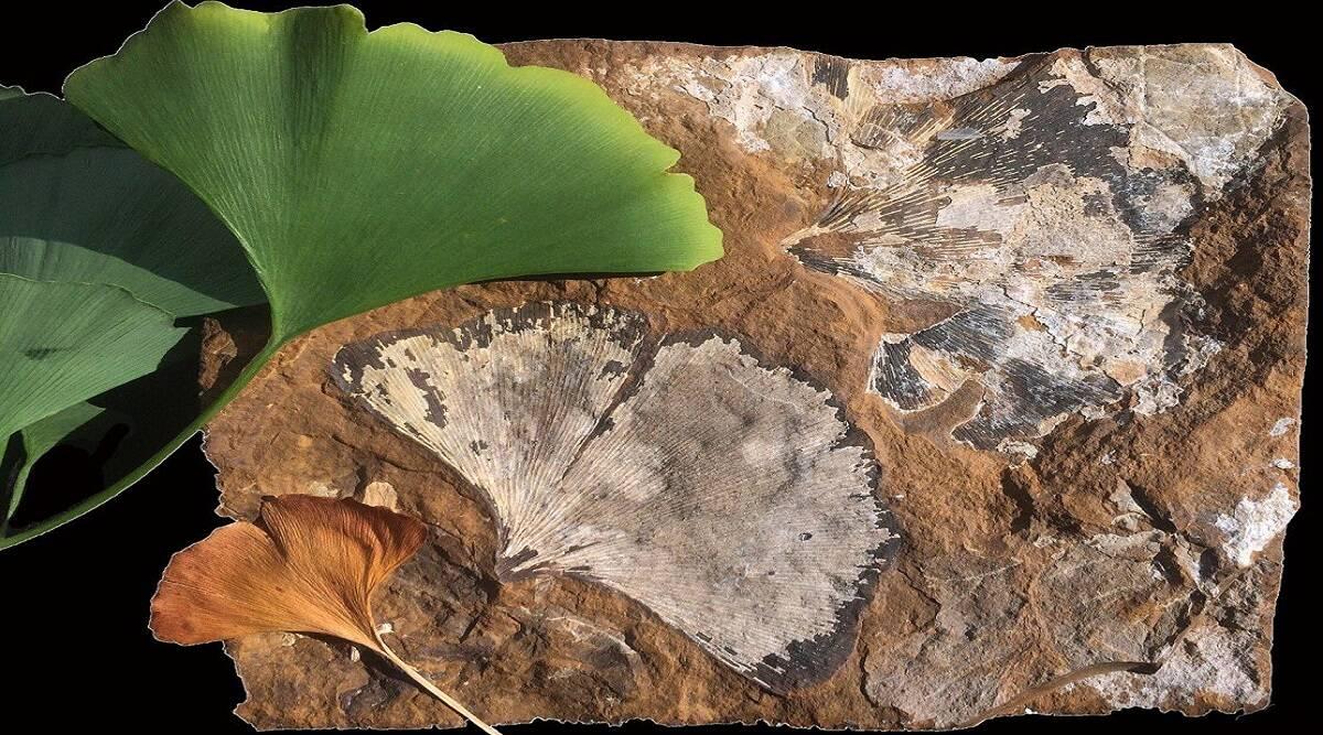 Las hojas de ginkgo ayudan a los científicos a descifrar los climas antiguos