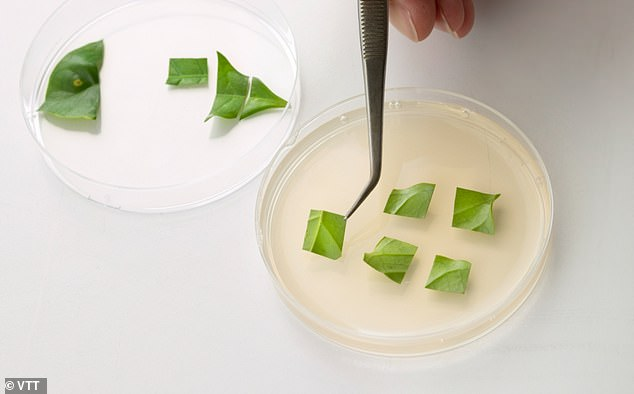 Los investigadores de VTT comienzan con la extracción de células de una pequeña muestra de planta, en este caso, una hoja de una planta de café.