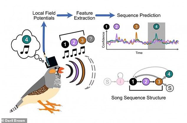 """Ilustración del flujo de trabajo experimental.  Mientras un pinzón cebra macho canta su canción, que consiste en la secuencia, """"1, 2, 3,""""- piensa en la próxima sílaba que cantará (""""4"""")"""