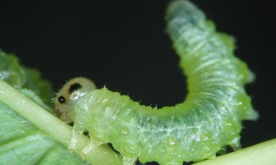 Investigadores del Real Instituto Belga de Ciencias Naturales han traducido las secreciones de las larvas de mosca sierra (en la foto) en sonidos espeluznantes y han probado su efecto en humanos.