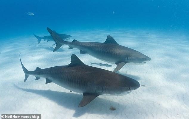 A pesar de su reputación como lobos solitarios y de pasar meses solos cazando en mar abierto, a los tiburones tigre también les gusta reunirse en grupos sociales (como se muestra en la imagen), según un estudio