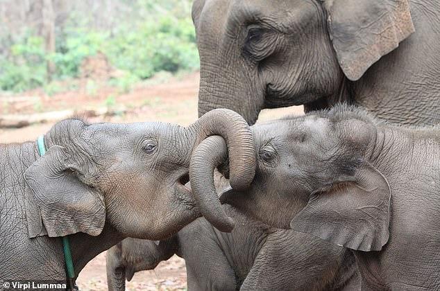 En la imagen, hermanos de elefantes asiáticos.  En general, la presencia de un hermano mayor de cualquier sexo en las poblaciones de elefante asiático (Elephas maximus) en Myanmar aumentó la supervivencia a largo plazo de las crías en comparación con la ausencia de un hermano, informan los investigadores.
