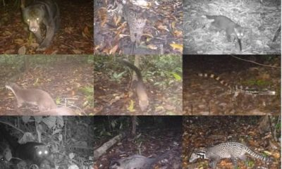 De arriba a la izquierda a abajo a la derecha: oso sol, gato jaspeado, gato de cabeza plana, nutrias lisas, marta de garganta amarilla, linsang anillado, binturong, civeta de palma común, civeta malaya.  Algunos carnívoros como los osos, los gatos salvajes y las civetas pueden evitarse entre sí para conservar los recursos y sobrevivir.  Los expertos observaron 9 especies durante más de tres años en tres sitios en Borneo