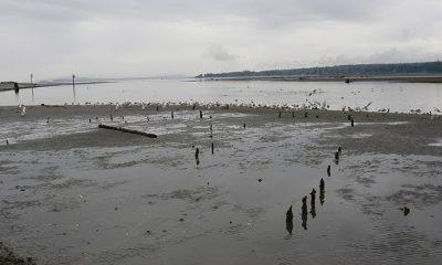 Las estacas de madera (en la foto) en las aguas poco profundas de la isla de Vancouver han desconcertado a los historiadores durante años, hasta que una nueva investigación reveló que son un método de pesca antiguo y sofisticado.