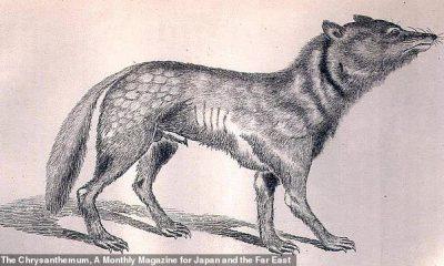 Extinto desde 1905, el lobo japonés es el pariente salvaje más cercano conocido del perro domesticado, según un nuevo informe.