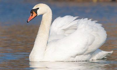 El brote comenzó cuando cinco cisnes mudos (Cygnus olor) fueron llevados al centro y aislados allí entre el 23 de octubre y el 20 de noviembre de 2020. En la foto, imagen de stock de Cygnus olor