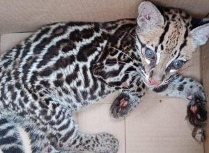 En Nariño rescataron un leopardo, pero tiene múltiples fracturas y malformaciones producto del maltrato - Noticias de Colombia