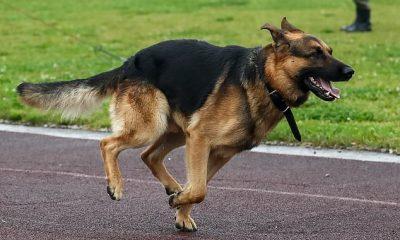 Algunos perros se ven afectados por ciertos aspectos del TDAH, como hiperactividad y falta de atención, ha encontrado un nuevo estudio