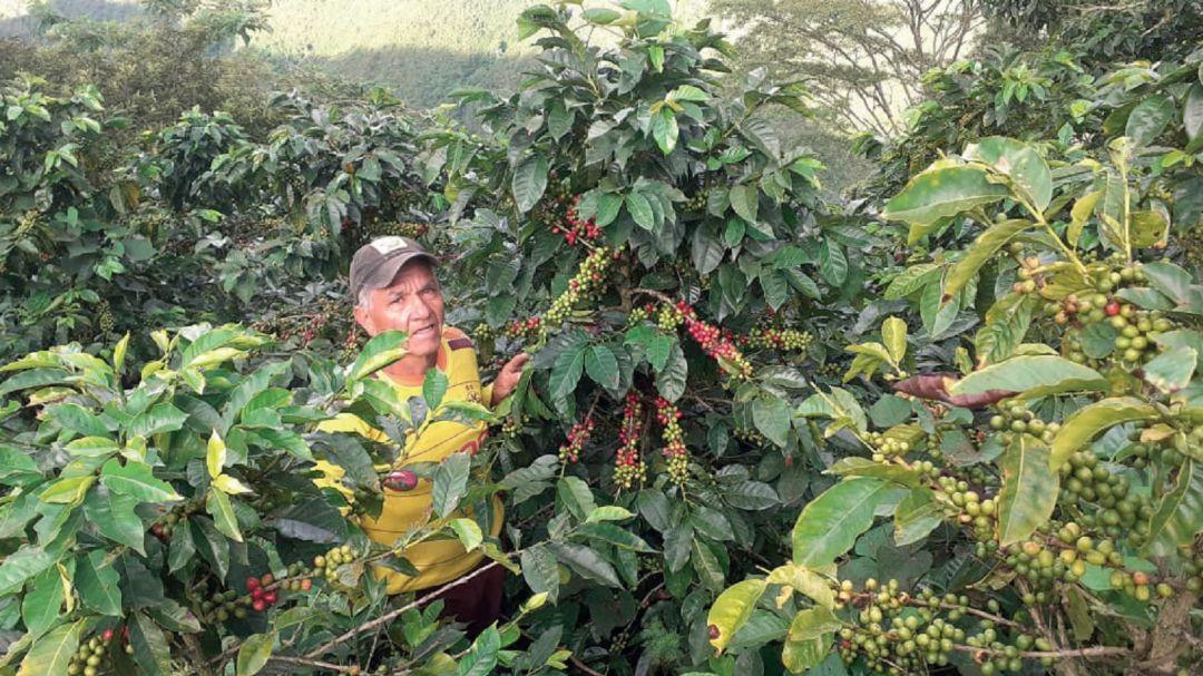 Inició la cosecha cafetera en Santander - Noticias de Colombia