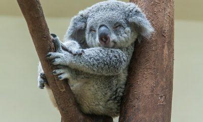 Cientos de koalas en Australia deben vacunarse contra la clamidia, una infección que para los marsupiales puede provocar ceguera, infertilidad e incluso la muerte.  En la foto: un koala