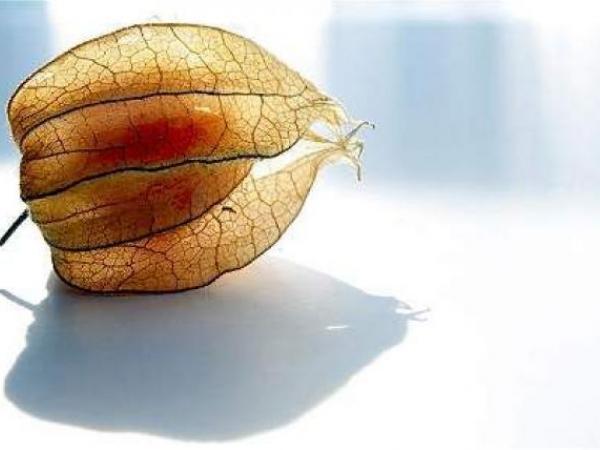Uchuvas colombianas: fruta que tiene mucho potencial de exportación | Finanzas | Economía